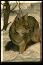 Northern Coyote Urine nscu